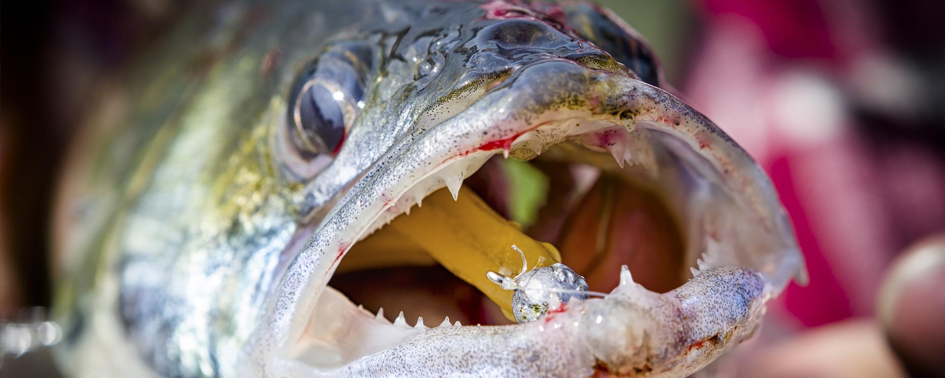Roofvissen snoekbaars
